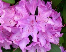 Rododendron fioletowy