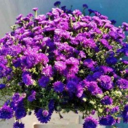 Aster nowobelgijski Dark Blue Double
