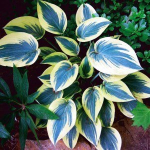 Funkia Hosta Mini Frost