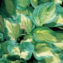 Funkia Hosta Great Expetations sadzonki - (P9)