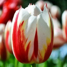 Tulipan Triumph Happy Generation 5 szt.